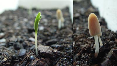 Espinafre e cogumelos a germinar