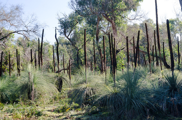 xanthorrhoea or grass trees