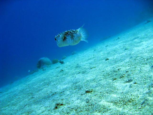 puffer fish israel