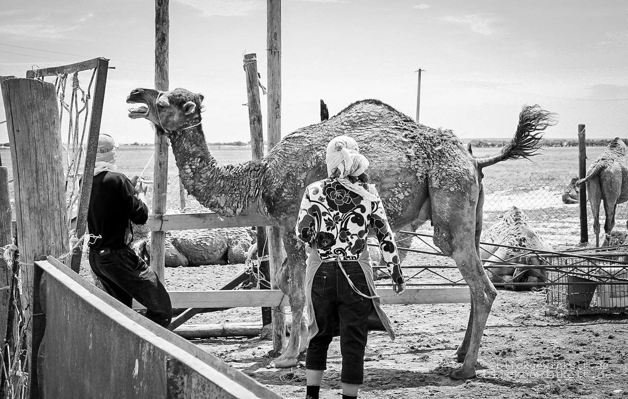 Kamelfarm in Kasachstan