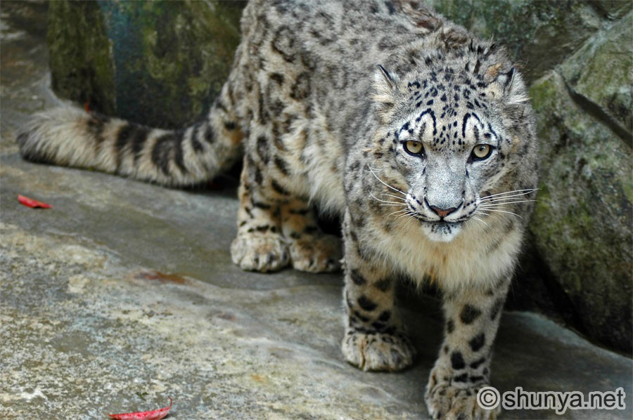 snow leopards in natural seclection Snow leopards are poached siamang gibbons are endangered animals the museum gives you a break from the sun on hot summer days and has a great selection.