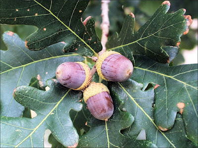 Oak (Quercus Alba) Overview, Health Benefits, Side effects