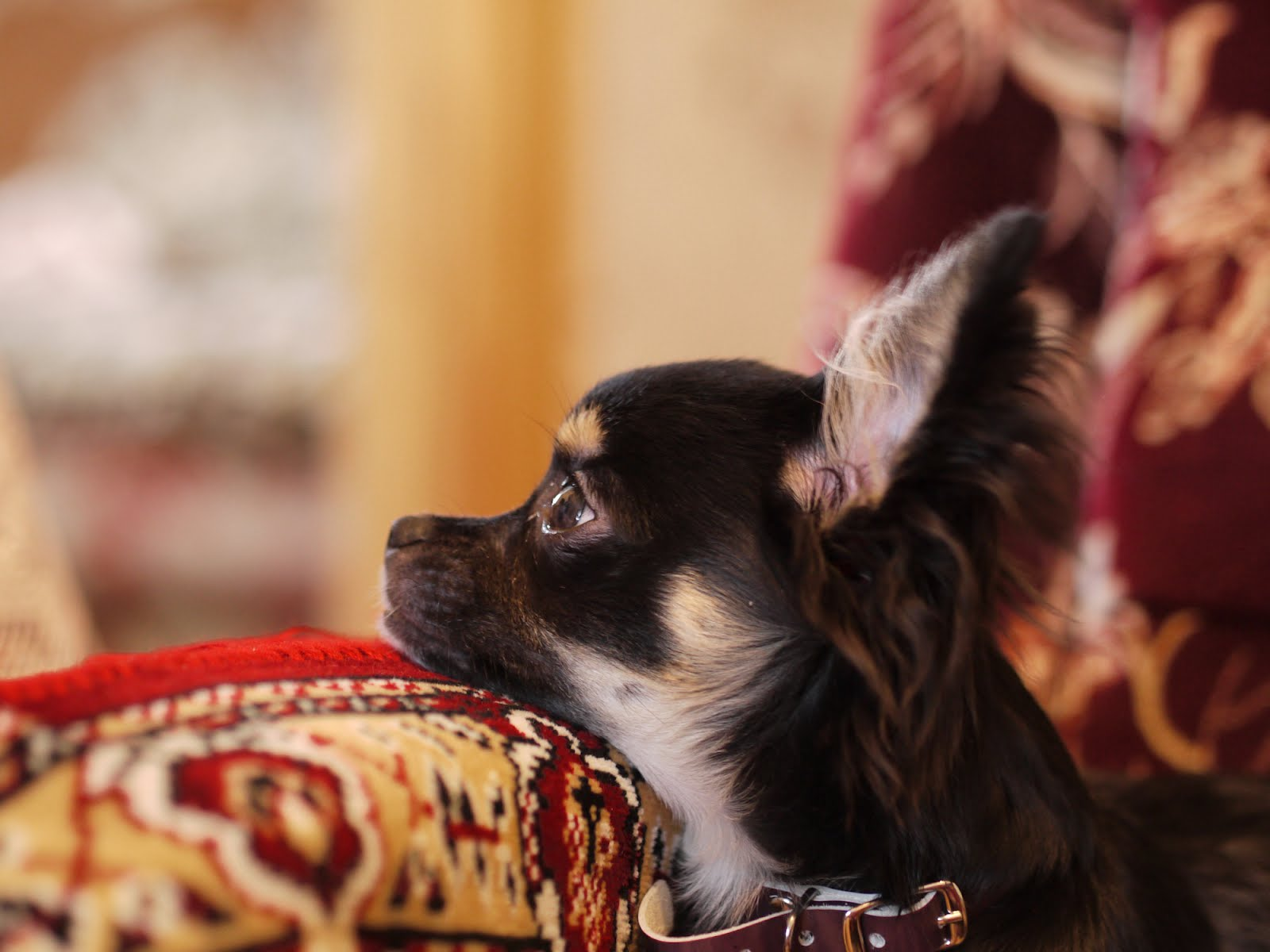 Black Tan Chihuahua