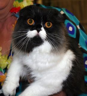 scottish fold cat animal pets kitten