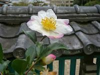 山茶花の花が美しく咲いていた。