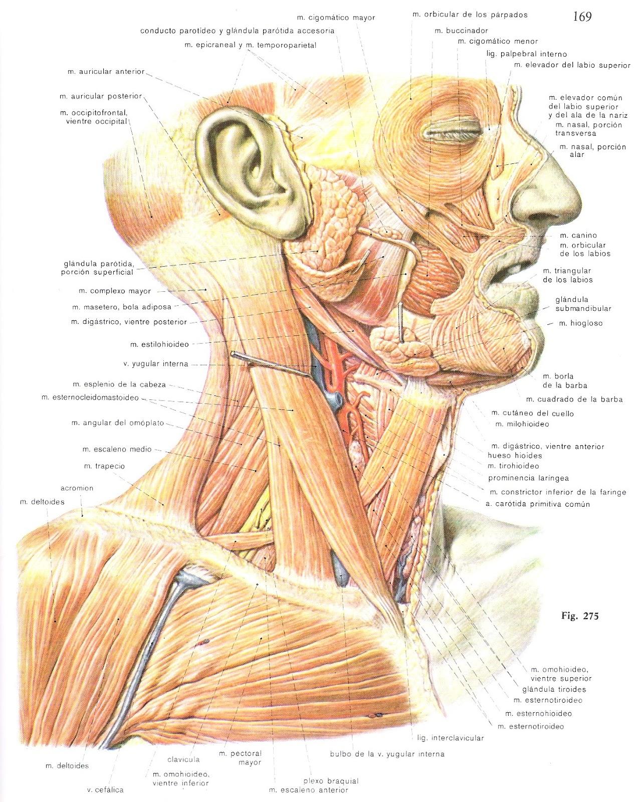 Asombroso Ubicación Deltoides Modelo - Anatomía de Las Imágenesdel ...