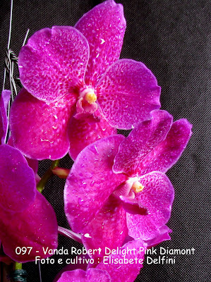 "Vanda Robert Delight Pink ""Diamont"" do blogdabeteorquideas"