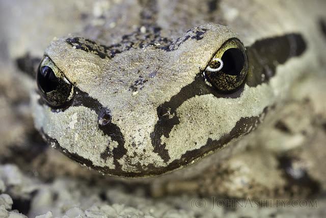 Northern Pacific Treefrog (c) John Ashley