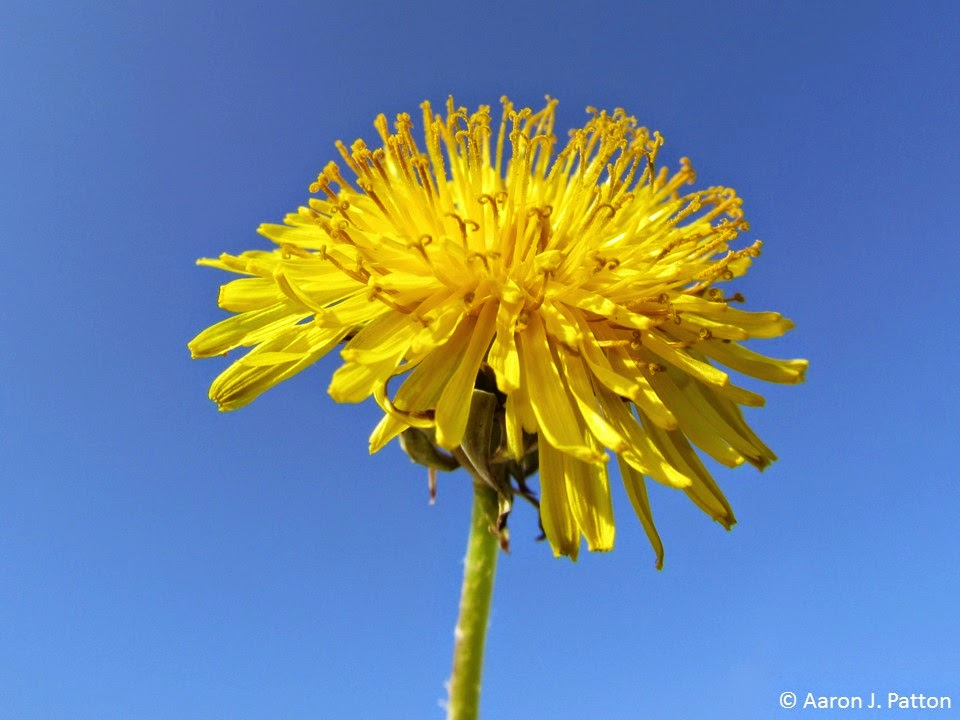 Purdue turf tips weed of the month for february 2015 is dandelion mightylinksfo