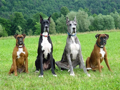Large Dog care, Large breed Dog Care, Large Dog Flea treatment, frontline plus for large Dog, Large Dog Flea prevetnion, Frontline Flea treatment