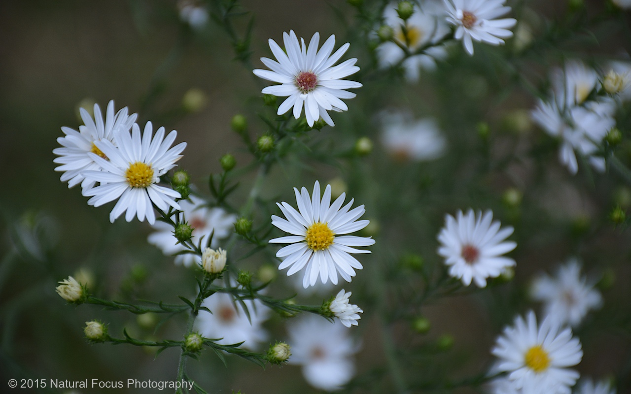 Natural Focus Nature Photo Of The Day 248 Small Daisy Like Flower