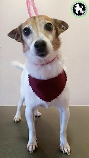 midlands tamworth dog groomer jack russell groomed mutley makeovers