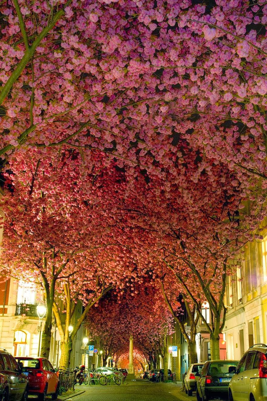 Blossom tree street in Bonn Germany