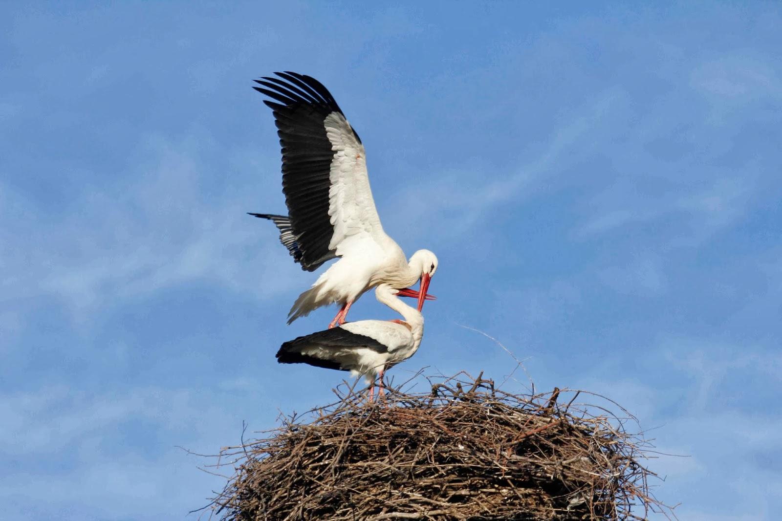 Aves de SEO-Sevilla. Las cigüeñas blancas ya se encuentran en las zonas de cría.