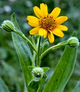 Arnica (Arnica Montana) Overview, Health Benefits, Side effects