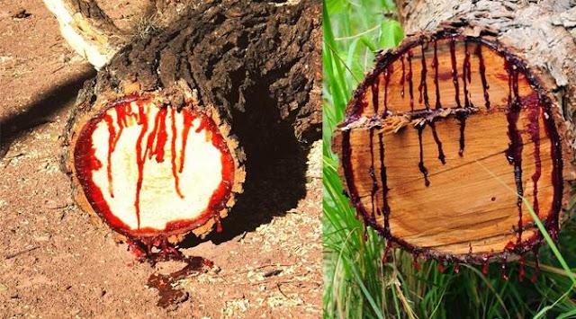 Mau Tau Seperti Apa Penampakan Pohon Yang Menangis Darah?