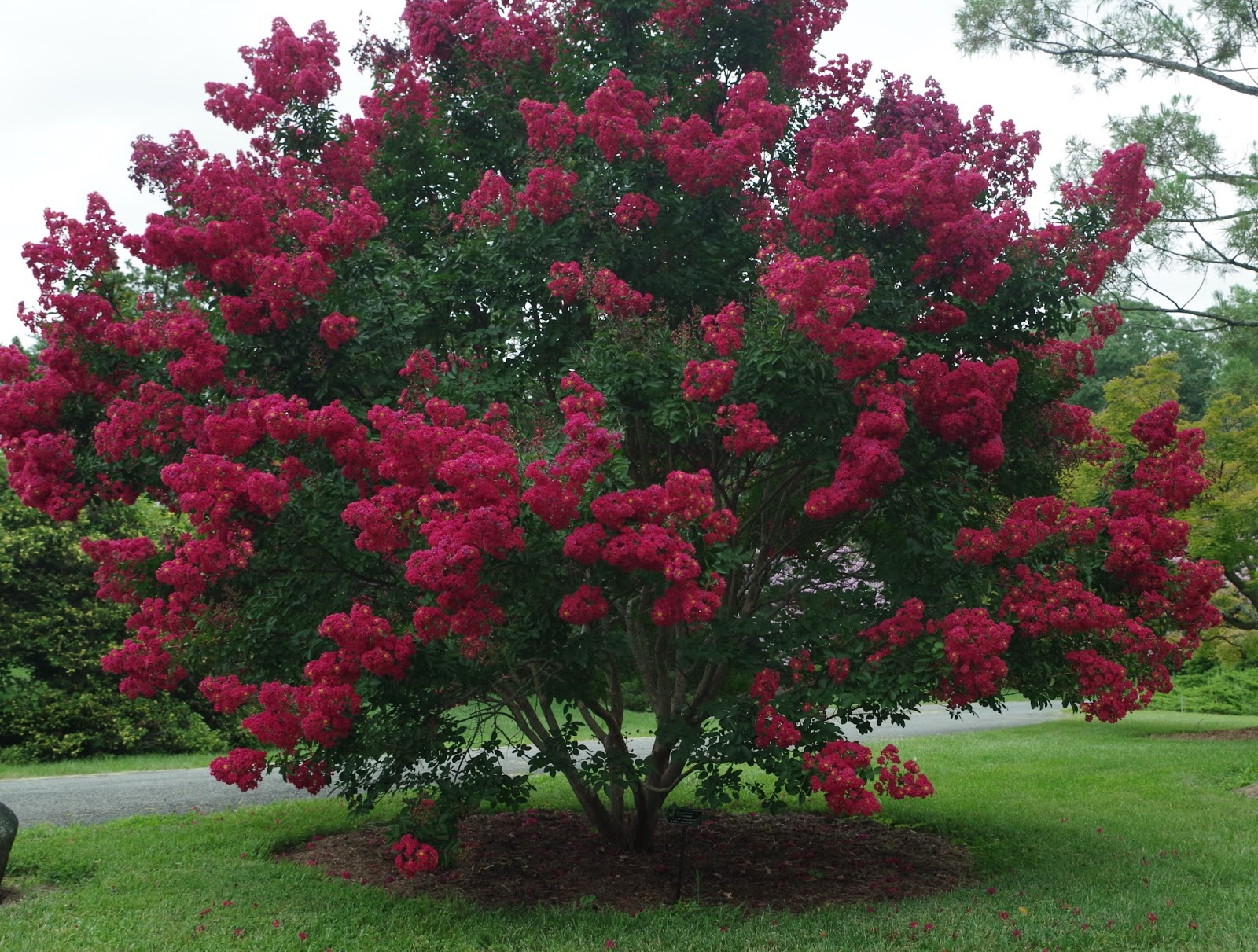 Natchez Crape Myrtle Trees for Sale Fast Growing Trees Pictures of crape myrtle