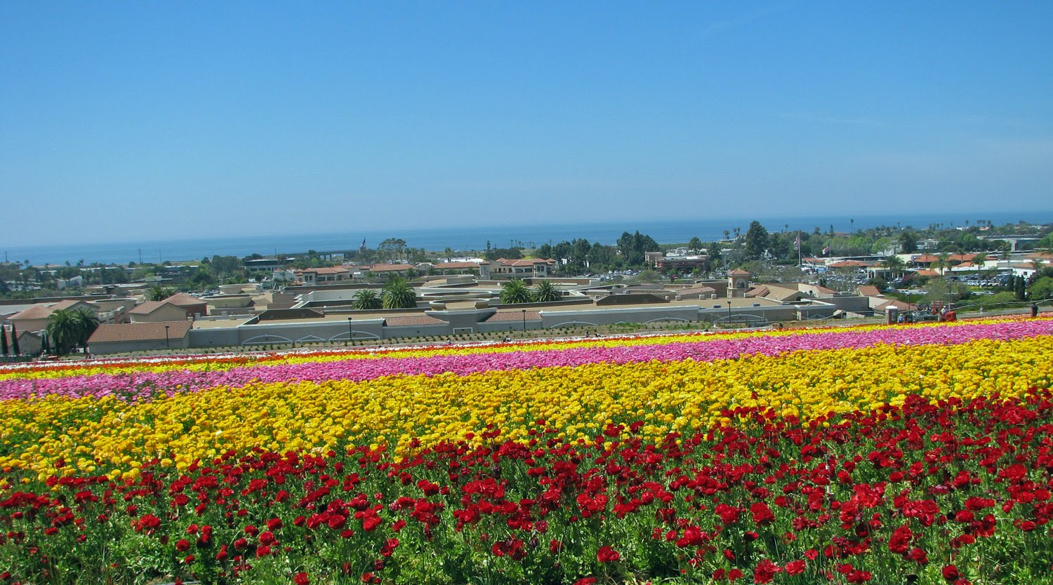 The Bell Curve of Life Carlsbad Flower Fields