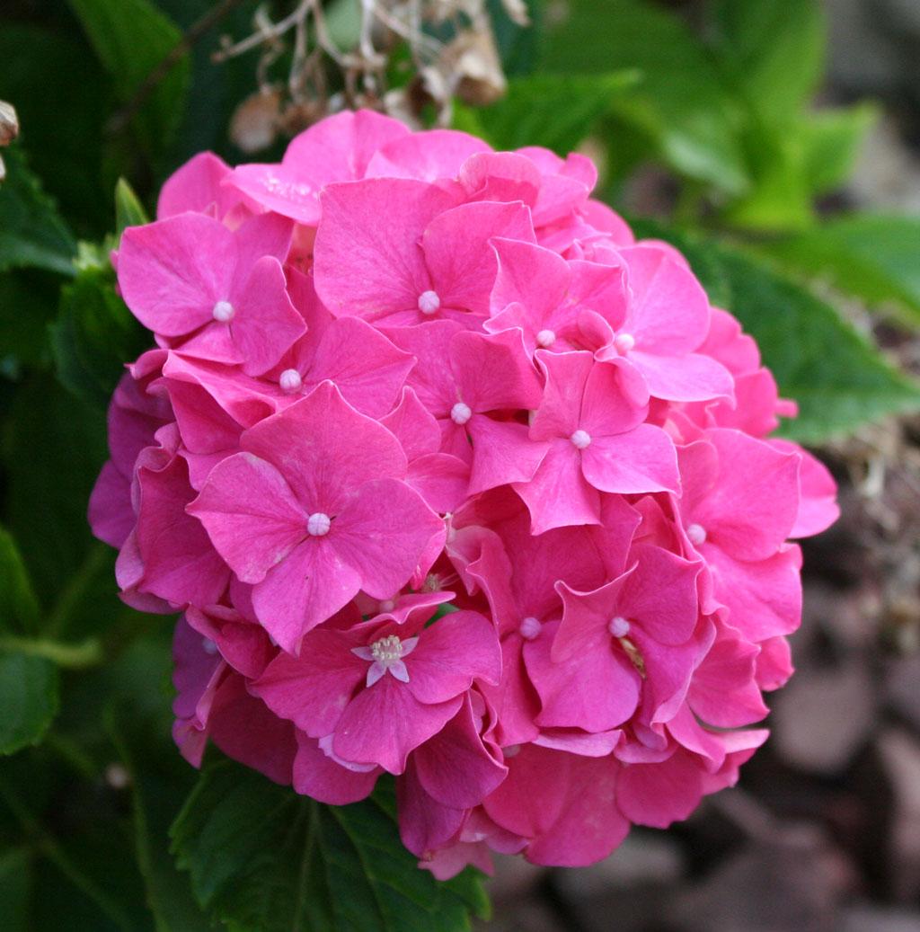 Poppular graphy Pink Hydrangea Flowers June 2013
