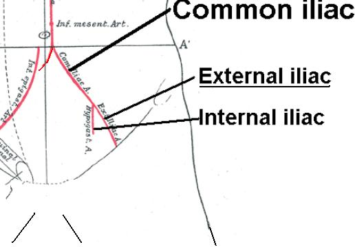 external_iliac_artery, Human body