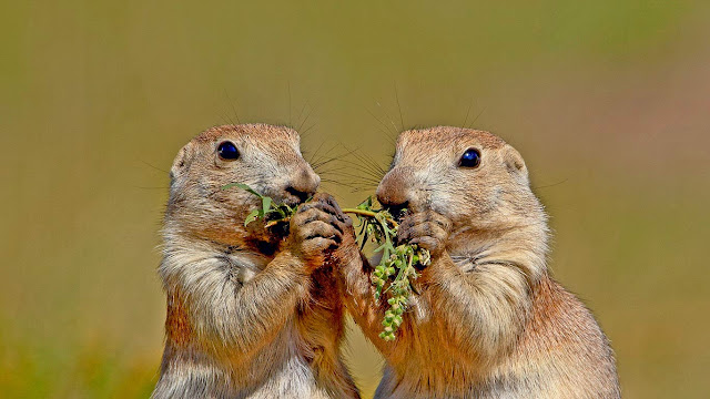 Black-tailed prairie dogs in Wind Cave National Park, South Dakota (© James Hager/age fotostock) 590