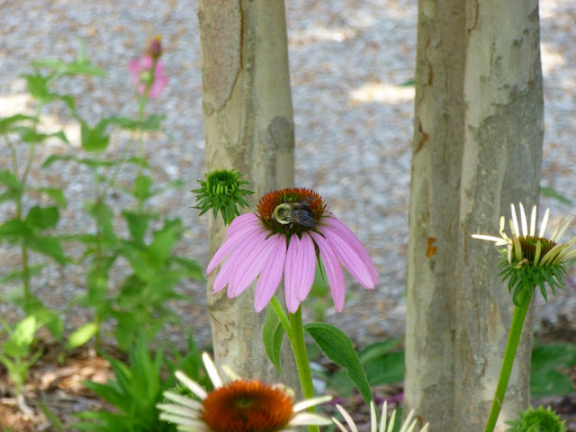 Echinacea purpurea, Eastern Purple Coneflower with Bumble Bee