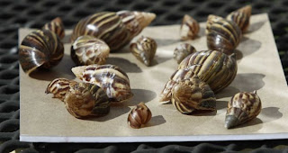 Gains made in Giant African Land Snail battle