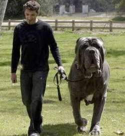 Cutest Dog In The World Guinness 2013 funny & cute cats: biggest dog in the world hercules