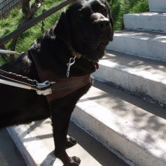black Lab in harness on stairs
