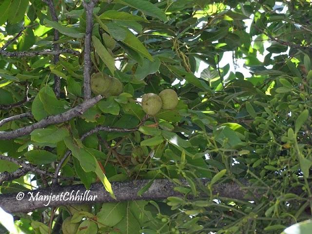 Aprikot Tree, Himachal