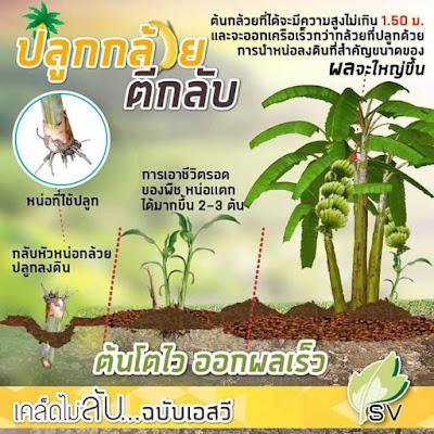 Cara dan Teknik Petani Thailand Tanam Pisang