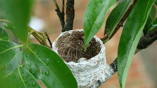 Burung Cipeuw : Burung Cipeuw (Common Lora) Yang Mempunyai Variasi Sendiri