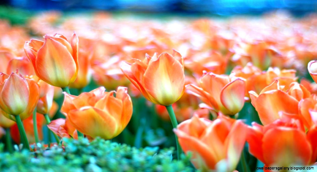 Wallpapers Fields Field Free Widescreen Hd Orange Tulip 1366x768