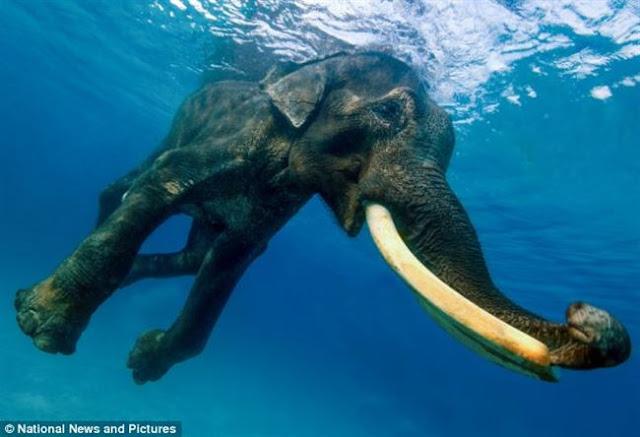 Gajah yang suka berenang dalam laut