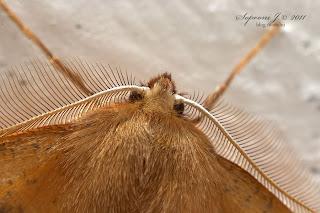 Tollascsápú araszoló (Colotois pennaria)