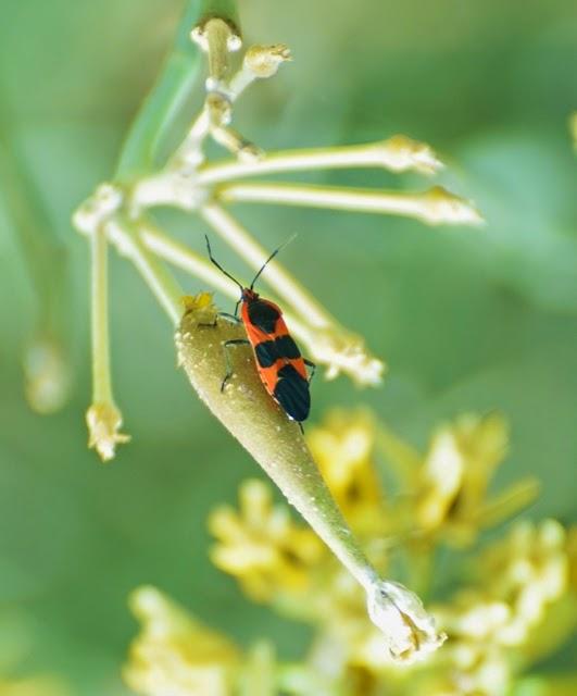 Oncopeltus fasciatus 6658