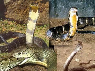 gambar_ular_king_kobra_keren
