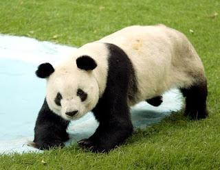 Osa Panda gigante