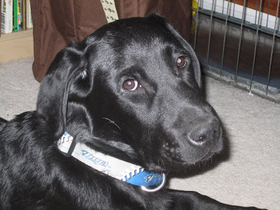 This is a closeup of black lab puppy Romero's head as he is looking over his right shoulder. He has a longish muzzle with a leathery black nose and dark brown eyes that are looking into the camera. His right ear is pulled back as though he is listening to a sound behind him. Around his neck is a new collar, about an inch wide. It is blue and gray with a white pattern that looks like the stitching on a baseball. It also has the word JAYS next to the Blue Jays logo, a profile of a blue jay head. Behind Romero you can see a bookshelf, a brown laundry hamper, and Romero's wire crate.