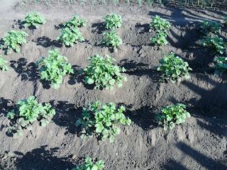 12 июня, картофель окучен второй раз