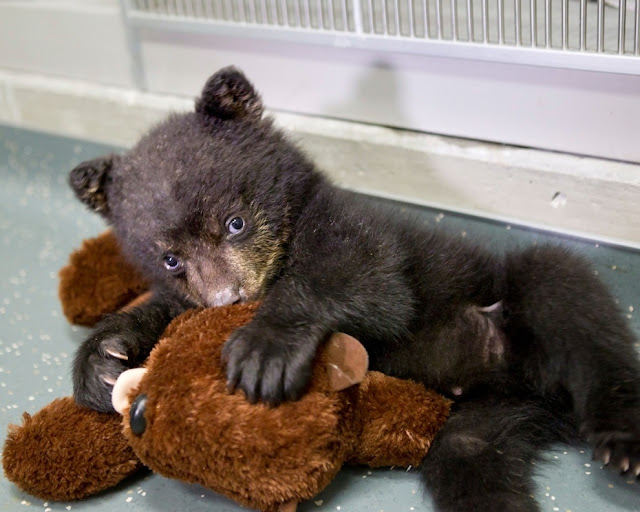 A cub bear snuggled with stuffed bear, baby bear, cute baby animals, cute naimal picture