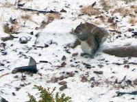 small gray squirrel