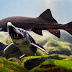 Espécie de peixe do tempo dos dinossauros está próximo à extinção