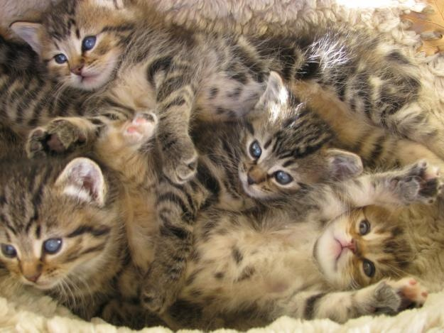 How Many Litters Of Kittens Should A Cat Have