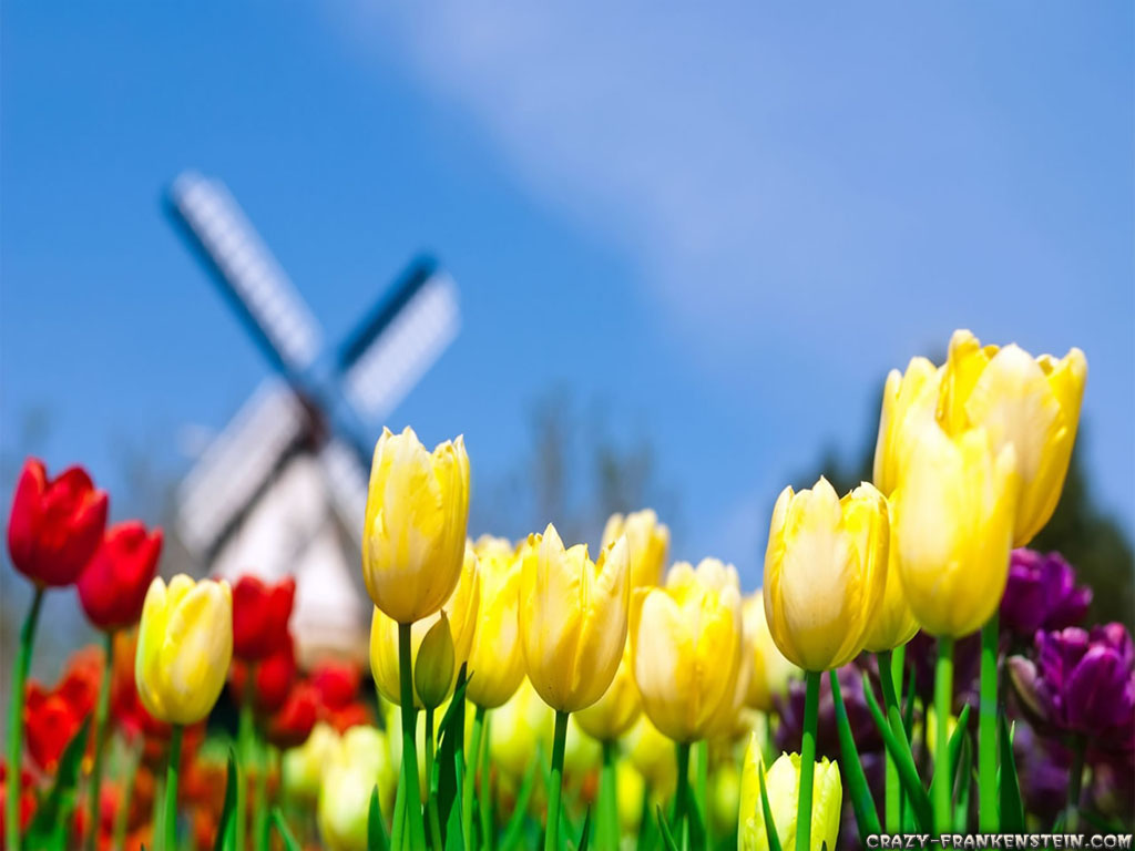 tulip flower wallpaper tulip flower wallpaper tulip flower wallpaper