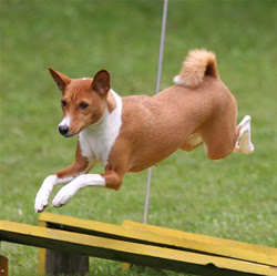 basenji dog picture wallpaper of puppies the basenji is distinctive of ...