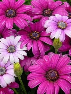 Flowers 240x320 Mobile Wallpapers 6