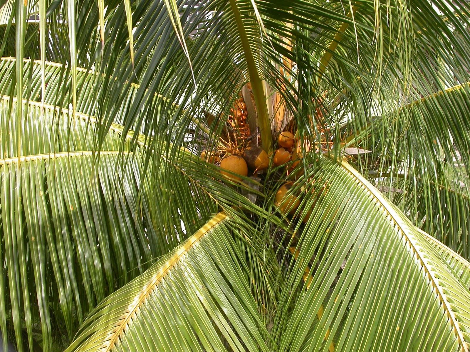 Barbados Flora & Fauna: Coconut Trees (Cocos nucifera)