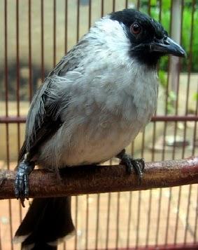 Jenis Jenis Burung Kutilang Dunia Burung