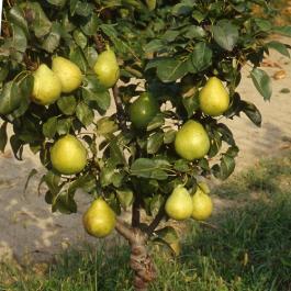 Orto per tutti piante da frutto for Albero da frutto nano